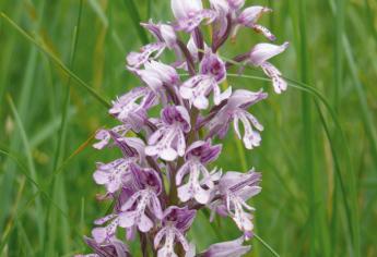 XI_1_Orchidee