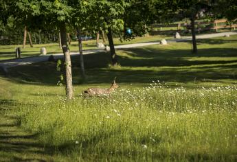 Reh auf einer Wildblumenwiese im Ferienhaus-Park Brennickenswerder.