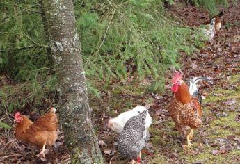 Hühner beim Spaziergang